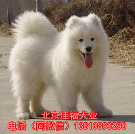 北京哪里吗萨摩耶犬 纯种萨摩耶犬 保...
