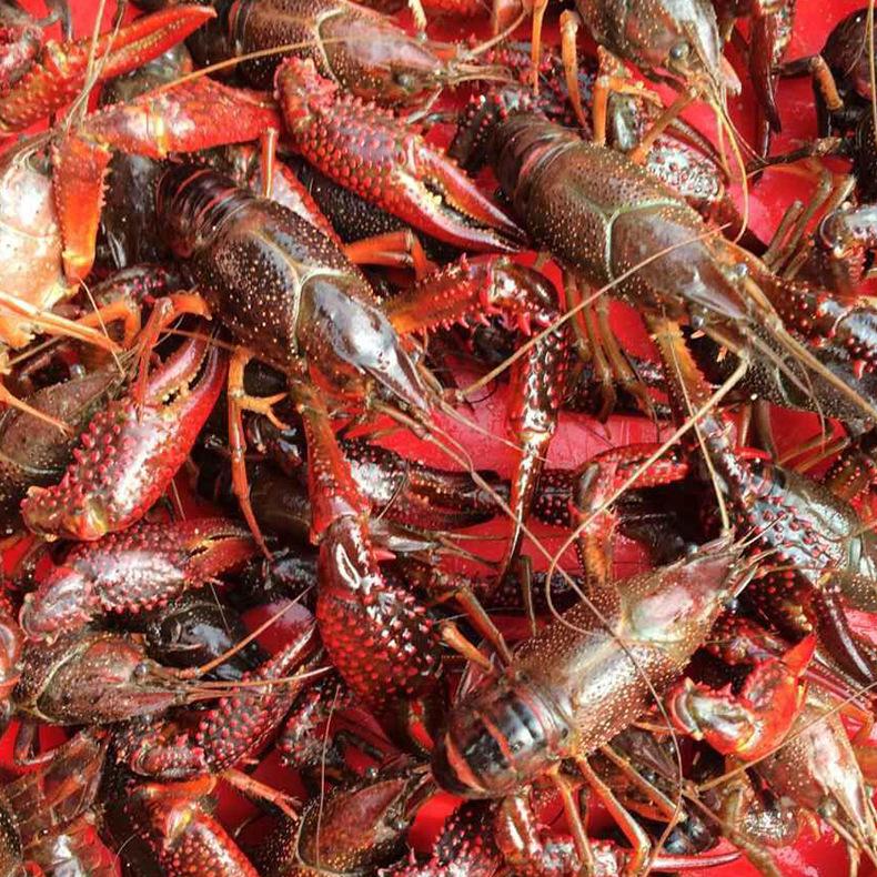 大英小龙虾厂家直销大量批发的图片